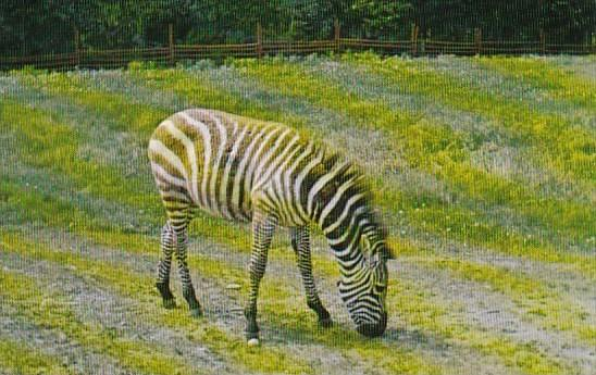 Canada Zebra Of The Most Interesting Tourist Attractions In The Edmonton Area...