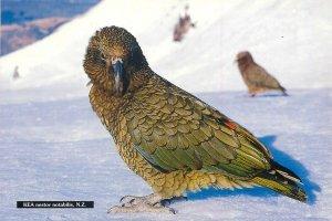 New Zealand Postcard Kea Nestor Notabilis parrot mountain bird