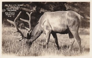 South Dakota State Game Preserve An Elk With Horns In The Velvet Real Photo