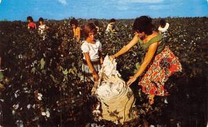 Monteria Columbia Recoleccion de algodon Monteria Recoleccion de algodon