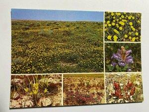 UNUSED PICTURE POSTCARD - DESERT FLOWERS OF CENTRAL SAUDI ARABIA (KK991)