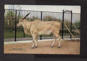 NY Eland Animal New York City Zoological Park Zoo Postcard NYC