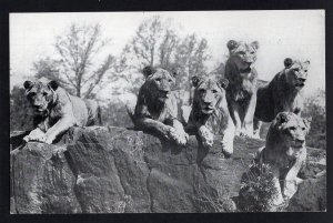 New York City ~ Zoological Park (Bronx Zoo) - A Pride of Lions - RPPC