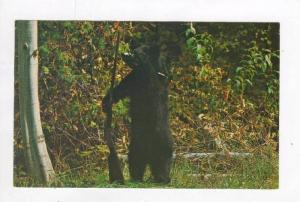 Bear with rifle looking for hunters, 40-60s