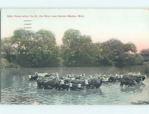 Divided-Back DAIRY COWS IN THE RIVER Benton Harbor Michigan MI HM6908