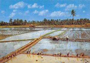 Indonesia Rice-Fields Ready for Planting Birds