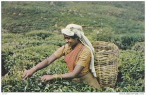 Tea Picker girl , Ceylon , 40-60s