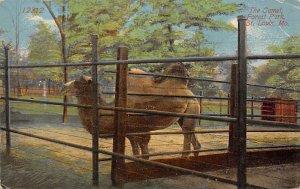 Misc Animals Camel, Forest Park St Louis, Missouri, USA 1914