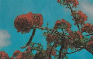 Royal Poinciana - The Flame Tree - Micronesia in Springtime