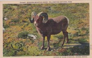 Bighorn Mountain Sheep Yellowstone National Park Curteich