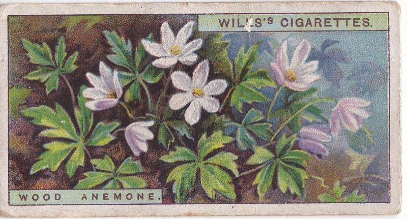 Cigarette Cards Wills Wild Flowers A Series No 1 Wood Anenome