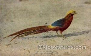 Golden Pheasant, New York Zoological Park New York, USA Unused