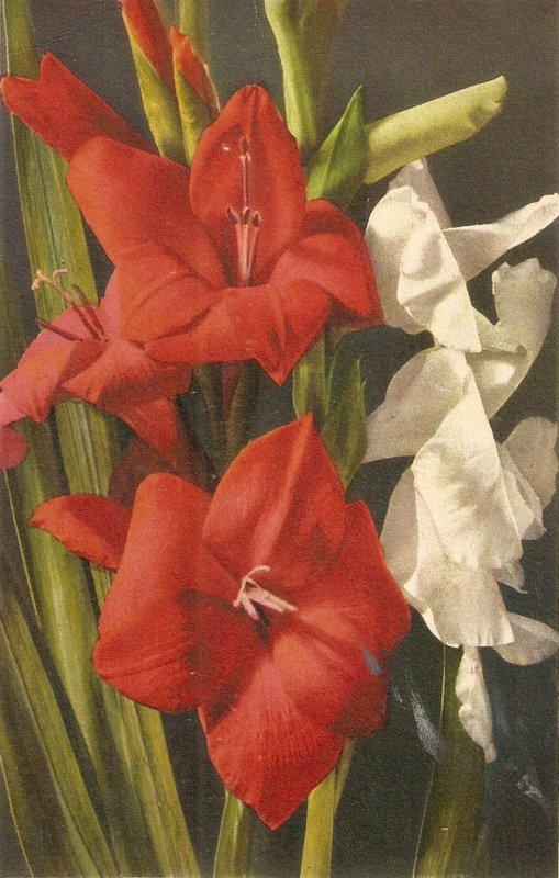 Beautiful flowers. Gladiolus Nce Swish postcard 1940s