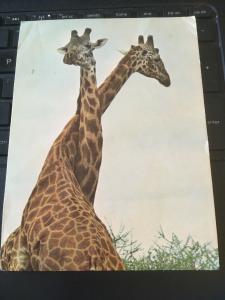 Vintage Postcard; Giraffes, Serengeti