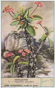 Liebig Trade Card S1625 Cacti II No 5 Euphorbia splendens