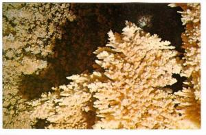Coral,  Caverns of Sonora,  located off U.S. Highway 290 at Sonora,  Texas,  ...