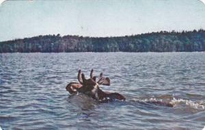 View From Water, Kingly Moose Swimming In Water, Temagami, Ontario, Canada, 4...