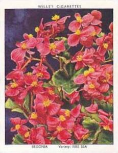 Wills Vintage Cigarette Card Garden Flowers 1939 2nd Series No 5 Begonia Fire...