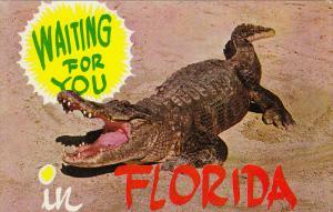 Alligator, Waiting for You, FLORIDA, 40-60´s