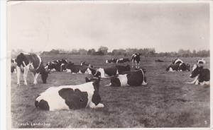 RP; Friesch Landschap, Healthy cows resting in field, PU-1943