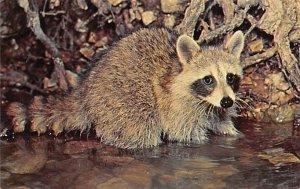 Raccoon Animals, Misc, Unused