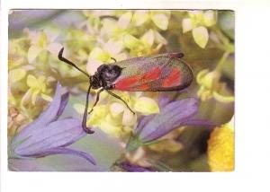 Close up of Moth with Black and Red Wings, Sitting on Flower, Germany, Photo ...