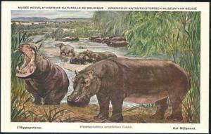 belgian congo, Hippo, Hippopotamus (1970s)
