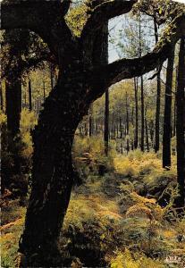 BT5642 Landaise un chene liege pparmi les pins        France