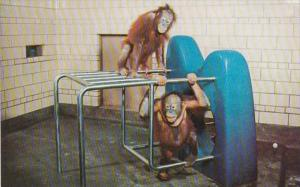 Michigan Detroit The Orangutans Holden Great Ape Exhibit In Zoological Park