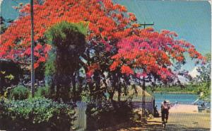 Royal Poinciana Tree Fowler's Street Nassau Bahamas