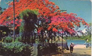 Royal Poinciana Tree Fowler's Street Nassau Bahamas