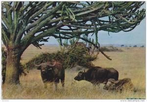 Buffalo, NAIROBI, Kenya, Africa, 50-70´s