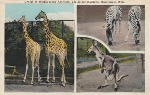 CINCINNATI, Ohio, 10-20s; Group of Herivorous Animals, Zoological Gardens