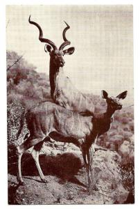American Museum Natural History Koodoo Antelope Postcard