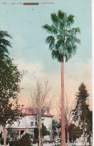 Fan Palm in California