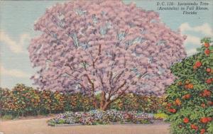 Florida Jacaranda Tree Acutifolia In Full Bloom 1956