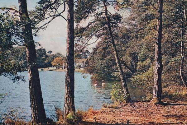 Wisley Pond Surrey Pine Trees Heather Bush Portsmouth Road River Postcard
