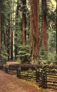 CA - Redwoods