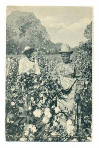 Die Baumwolle (Cotton) , Neger-Ehepaar bei der Erntearbeit, 00-10s, 00-10s