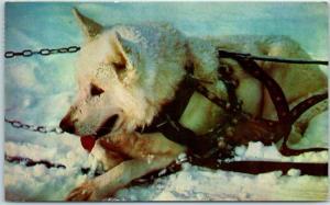 Vintage Alaska Postcard ALASKA SLED DOG Mike Roberts Chrome 1961 Cancel