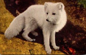New York City Zoological Park Arctic Fox