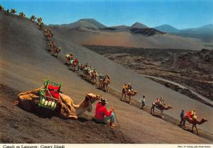 Spain Canary Islands Camels on Lanzarote Desert Postcard