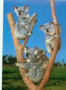 Koala Family Marsupials 3 Plus a Baby Austrailia   Postcard  # 8095