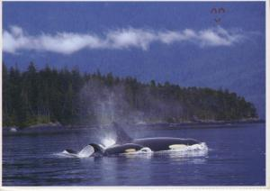 Orca Whales Mother & Baby Orcas Whale Location Unknown Unused Postcard D23