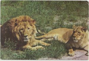 AFRICAN LIONS, MILWAUKEE COUNTY ZOO, unused Postcard
