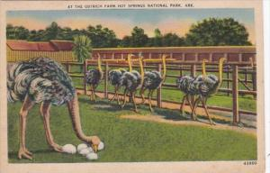 Arkansas Hot Springs Scene At The Ostrich Farm