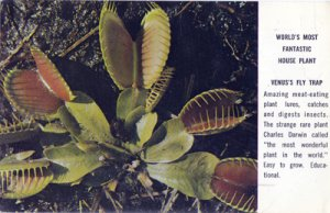 VENUS FLY TRAP..a fascinating meat eating plant 1950s
