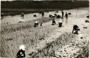 CPA Hauts plateaux de l'Imerina,Le repiquage du riz MADAGASCAR (830018)
