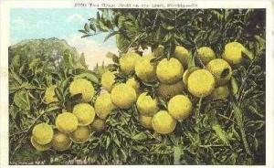 Fifty-Two Grape Fruit On One Limb, Florida, 1900-1910s