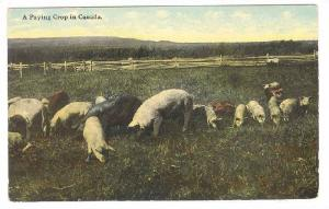 Paying Crop ( hogs / Pigs ) in Canada , 00-10s